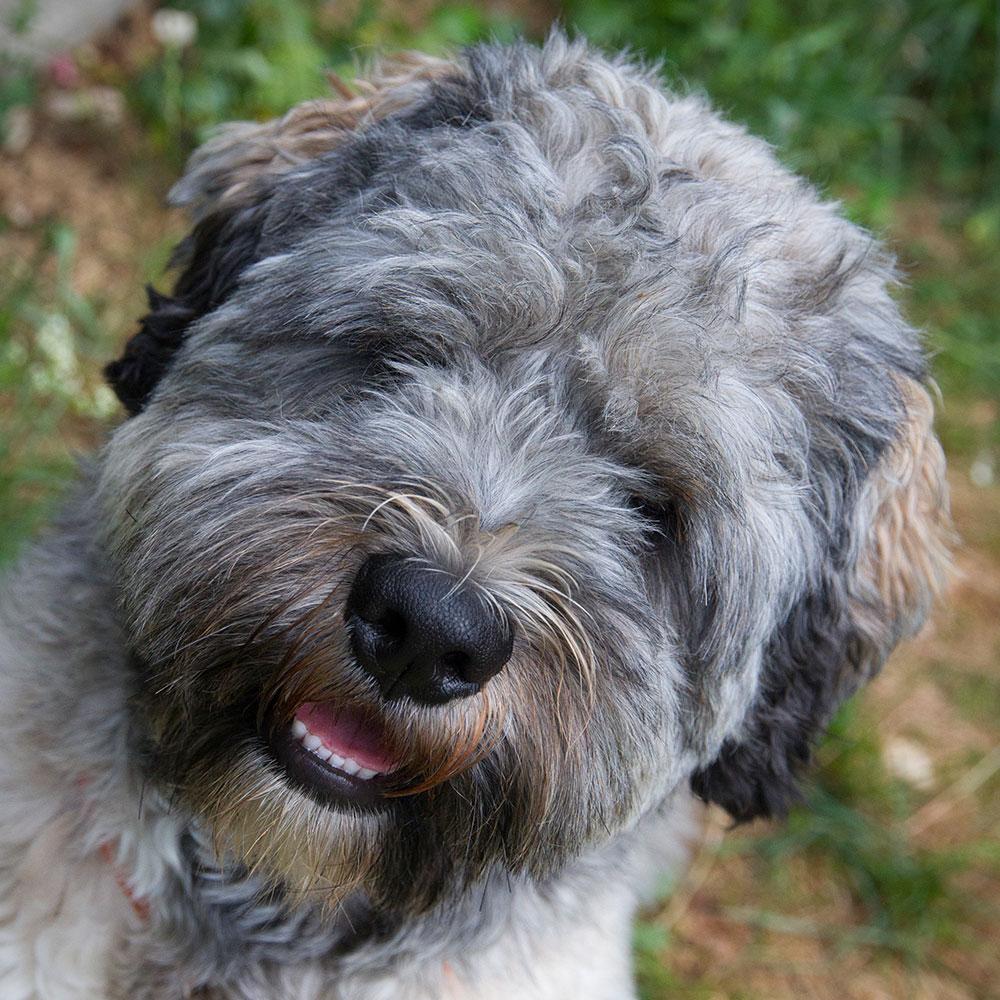 Der Tibet-Terrier Muffin